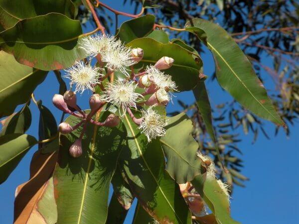 Eucalyptus - Source Pixabay